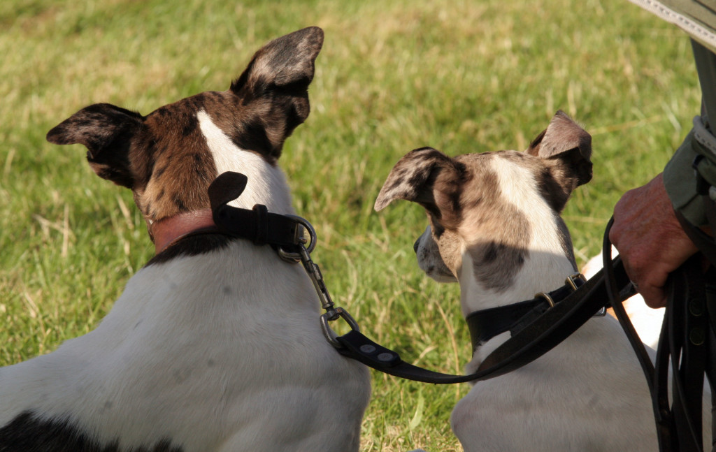 Terriers at Chatsworth Country Fair