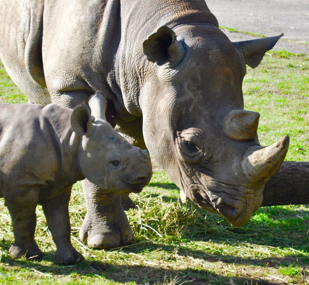 baby rhino at Port Lymphe reserve