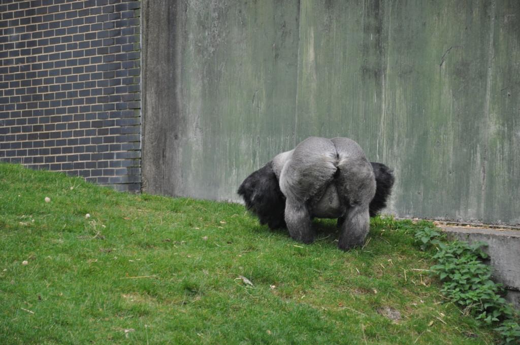 gorilla at Port Lymphe Reserve, Kent
