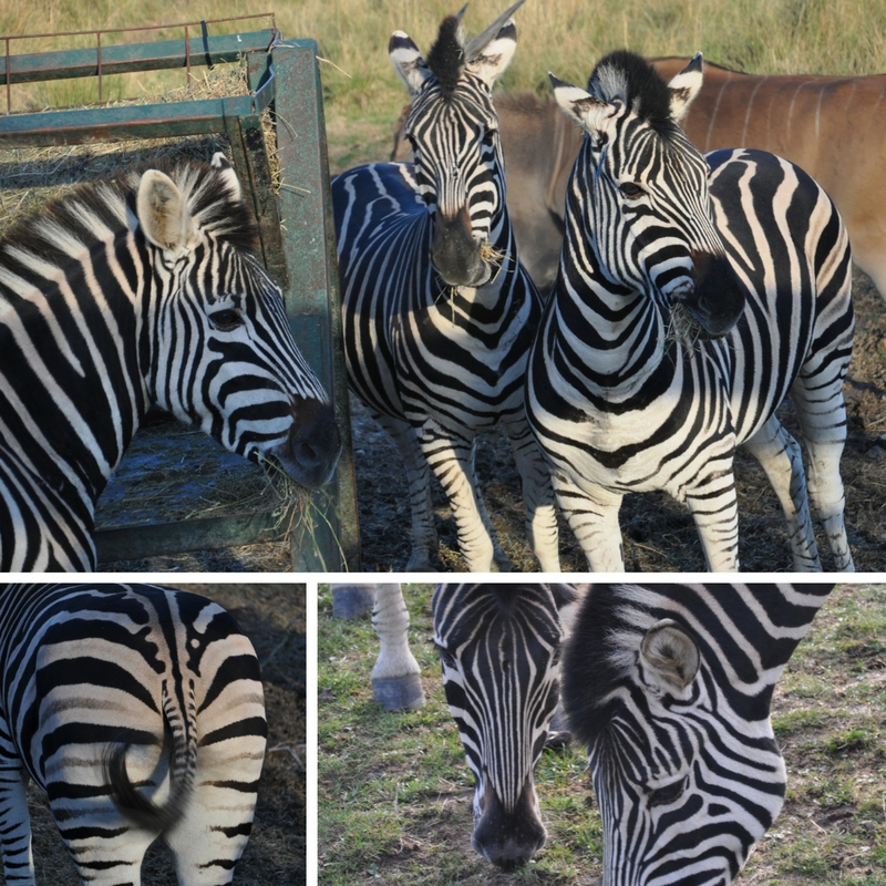 zebras at Port Lymphe Reserve, Kent