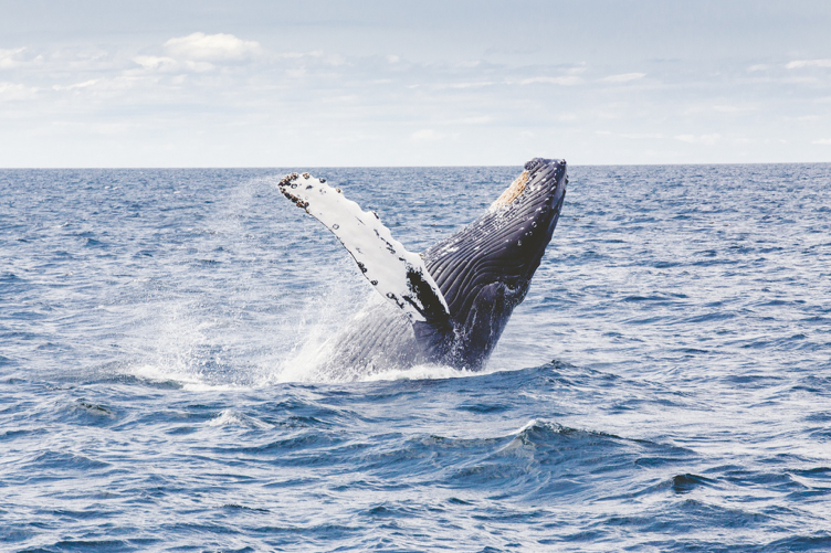 Whale watching in Iceland 5 Reasons to Visit Iceland in the Summer