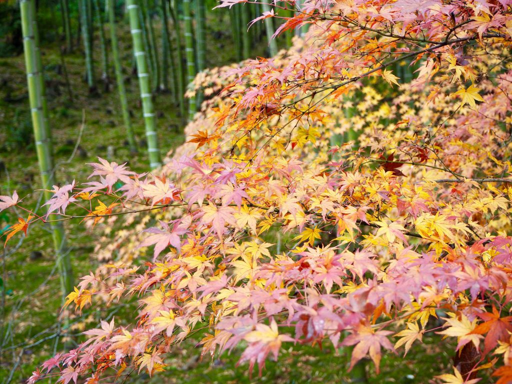 orange Autumn leaves in Tenryū Shiseizen-ji