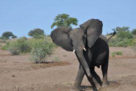 safari in Botswana (from South Africa) Elephant