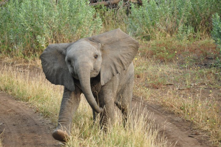 safari in Botswana (from South Africa) Elephant