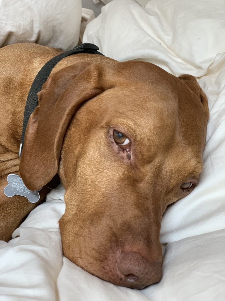 Feel Good Do Good Week 2 - Rowland the Vizsla